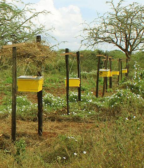 Voorbeeld van een afzetting met bijenkasten in Kenia.